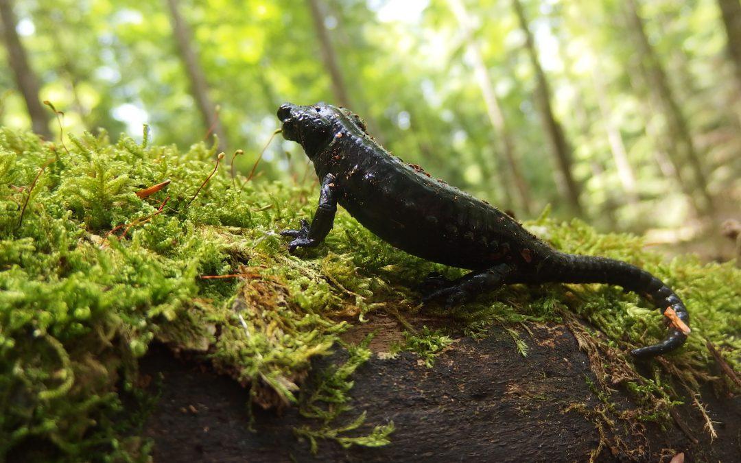 Salamandra nera, un incontro particolare